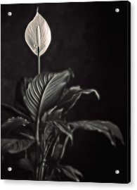 White Skunk Cabbage Acrylic Print by Joseph Gerges