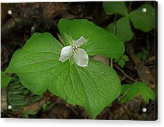 Acrylic Print featuring the photograph White Spring Trillium by Mike Eingle