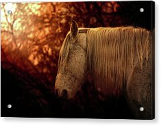 White Stallion Acrylic Print