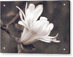 Acrylic Print featuring the photograph  White Star Magnolia Blossom by Jennie Marie Schell