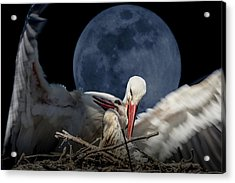 White Storks Of Fagagna With Full Moon Acrylic Print