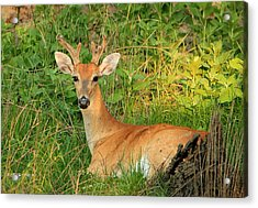 White-tail Buck Resting Acrylic Print