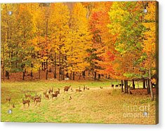 White Tail Deer Herd Acrylic Print by Terri Gostola