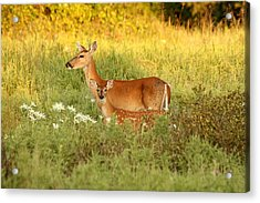 White-tail Doe And Fawn In Meadow Acrylic Print