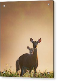 White-tailed Deer 2016 Acrylic Print by Bill Wakeley