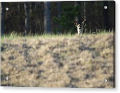 White Tailed Deer Calverton New York Acrylic Print