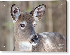 White-tailed Deer - Cerf De Virginie Acrylic Print by Nature and Wildlife Photography