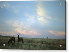 White-tailed Deer On The Prairie Acrylic Print