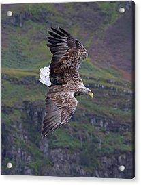 White-tailed Eagle Banks Acrylic Print