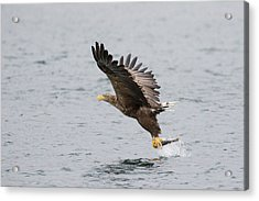 White-tailed Eagle Catching Dinner Acrylic Print