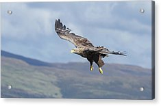 White-tailed Eagle On Mull Acrylic Print