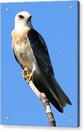 White-tailed Kite Acrylic Print by Paul Marto