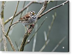 White Throated A Sparrow Acrylic Print by Laura Mountainspring