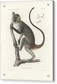 White Throated Guenon, Cercopithecus Albogularis Erythrarchus Acrylic Print