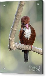 White-throated Kingfisher 01 Acrylic Print