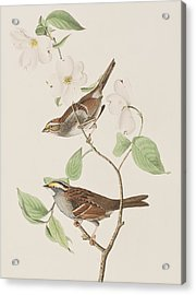 White Throated Sparrow Acrylic Print by John James Audubon
