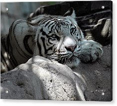 White Tiger Contiplation Acrylic Print
