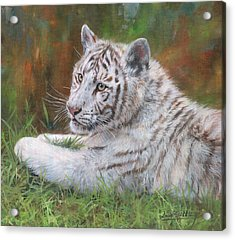 White Tiger Cub 2 Acrylic Print by David Stribbling