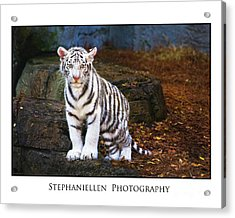 White Tiger Cub Acrylic Print by Stephanie Hayes