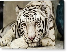 White Tiger Looking At You Acrylic Print