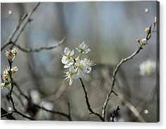 White Tree Bud Acrylic Print