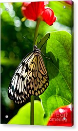 White Tree Nymph Butterfly 1 Acrylic Print by Terry Elniski