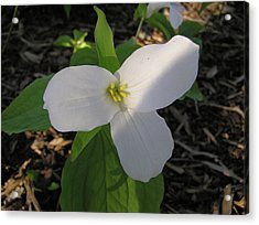 White Trillium Acrylic Print by Richard Mitchell