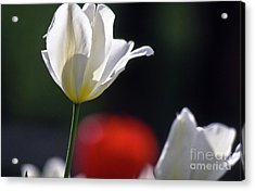 White Tulips  Blossom Acrylic Print by Heiko Koehrer-Wagner