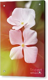 White Vinca With Vivid Highligts  Acrylic Print