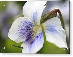 White Violet Acrylic Print