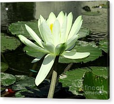 Acrylic Print featuring the photograph White Water Lily 1 by Randall Weidner