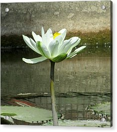Acrylic Print featuring the photograph White Water Lily 2 by Randall Weidner