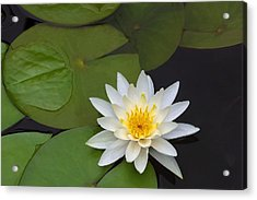 White Water Lily Acrylic Print by Linda Phelps