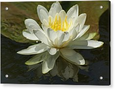Acrylic Print featuring the photograph White Water Lily by Ron Read