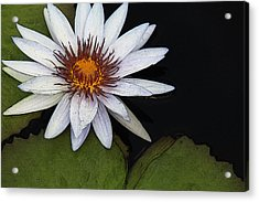 White Water Lily Acrylic Print by Yvonne Wright