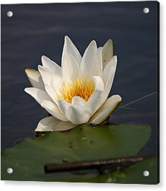 Acrylic Print featuring the photograph White Waterlily 1 by Jouko Lehto