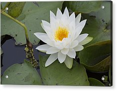 White Waterlily Acrylic Print by Linda Geiger
