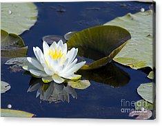 White Waterlily Acrylic Print