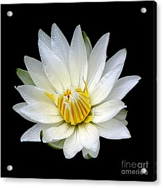 White Waterlily With Dewdrops Acrylic Print by Rose Santuci-Sofranko