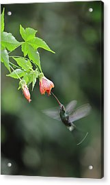 White-whiskered Hermit In Ecuador Acrylic Print by Juan Carlos Vindas