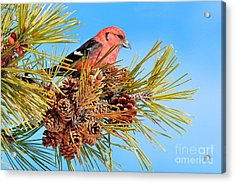 Acrylic Print featuring the photograph White-winged Crossbill by Debbie Stahre