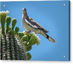 White Winged Dove On Cactus Flower Acrylic Print by Penny Lisowski