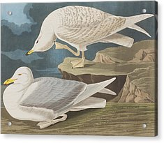White-winged Silvery Gull Acrylic Print by John James Audubon