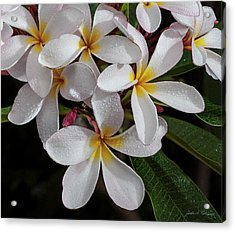 White/yellow Plumerias In Bloom Acrylic Print