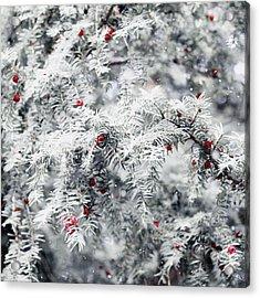 White Yew Acrylic Print by Helga Novelli