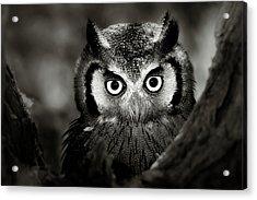 Whitefaced Owl Acrylic Print