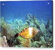 Whitespotted Filefish Acrylic Print by Steve Carpenter