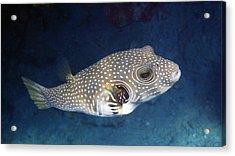 Whitespotted Pufferfish Closeup Acrylic Print
