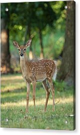 Whitetail Deer Fawn Acrylic Print by Erin Cadigan