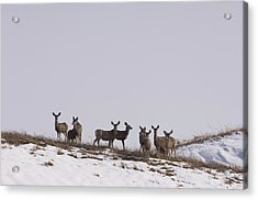 Whitetail Deer In The Snow In Burwell Acrylic Print by Joel Sartore